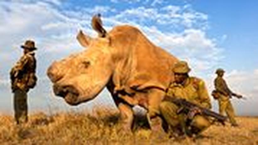Fotos zeigen die grausame Jagd auf die Hörner der letzten Rhinozerosse.