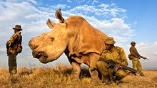 Nashorn-Wilderei: Sterben für ein bisschen Horn