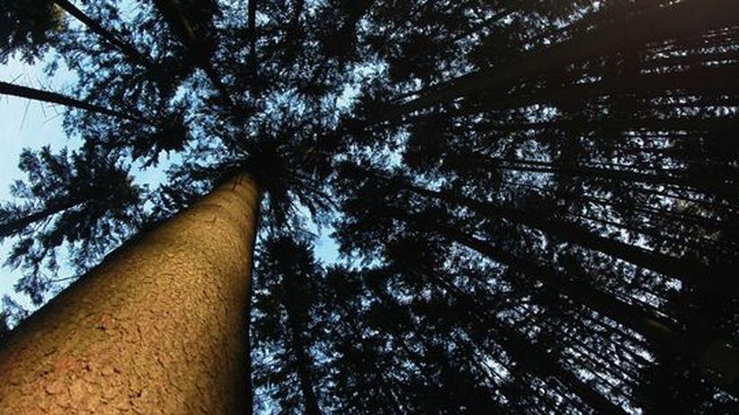Wachstum: Blick in die Kronen eines Fichtenwalds in Landau an der Isar