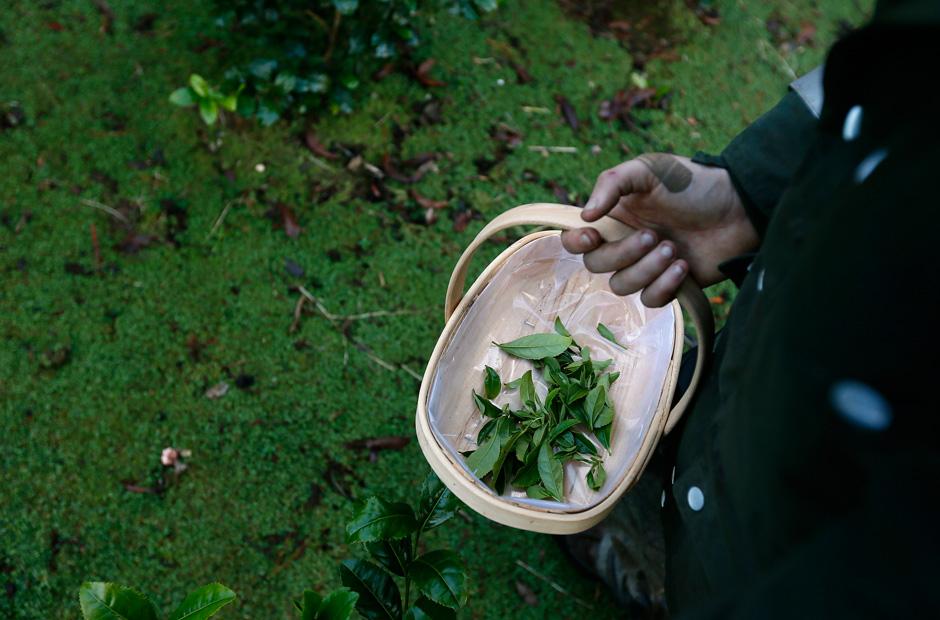 Der Tee wird in kleinen Körben gesammelt.