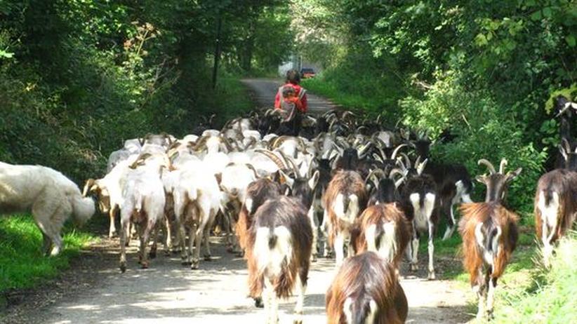 Landwirtschaft: Die Ziegen auf dem Hof in Bresse