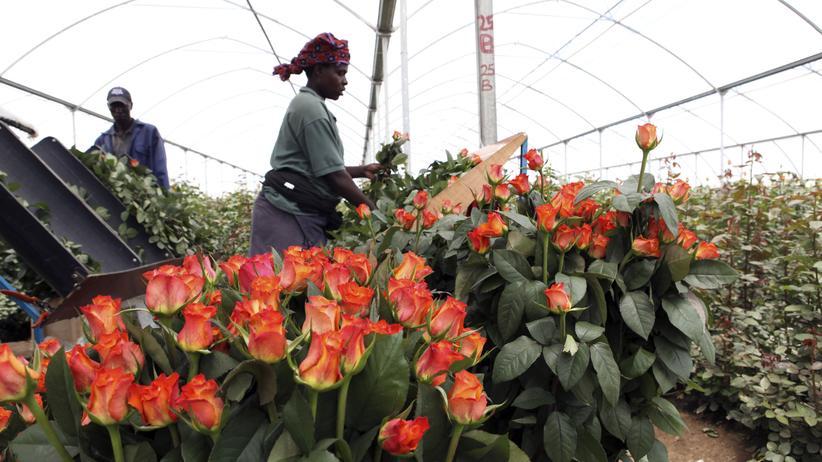 Wirtschaftsboom in Afrika: Florierender Wirtschaftszweig in Kenia: Der Anbau von Rosen für den Export, hier in Naivasha, 90 Kilometer westlich von Nairobi