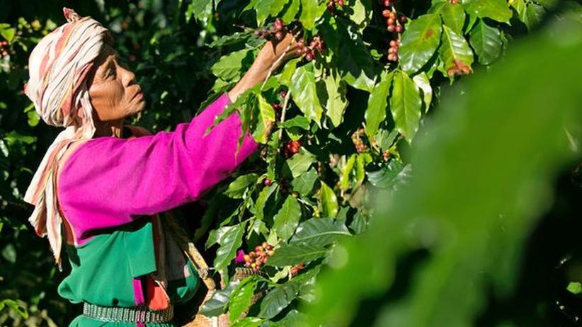 Fairtrade: Ernterin auf einer thailändischen Kaffeeplantage unter Fair-Trade-Bedingungen
