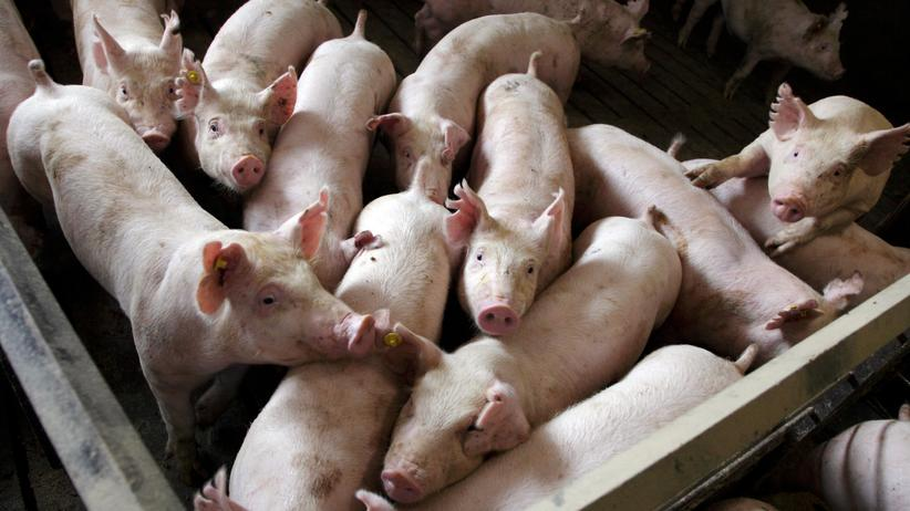 Tiermedizin: Die große Sauerei