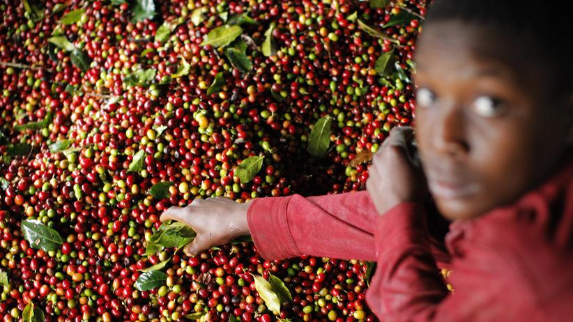 Fairtrade: Auf Haiti prüft ein Arbeiter die Qualität von Kaffee-Kirschen.