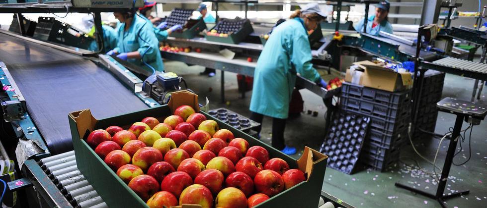 Mitarbeiter der russischen Firma Rajpol sortieren und verpacken Äpfel