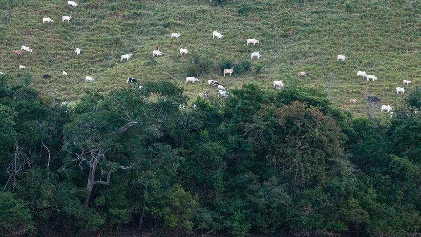 Entwaldung: Möglicherweise gibt es den Regenwald, der auf diesem Foto an eine Rinderweide grenzt, schon nicht mehr. Die Aufnahme entstand vor einem Jahr in Nordbrasilien.