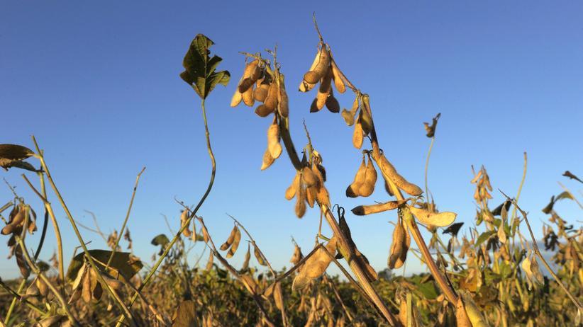 Gentechnik: Ausgewählte, gentechnisch veränderte Sojapflanzen dürfen die kommenden zehn Jahre in die EU importiert werden.