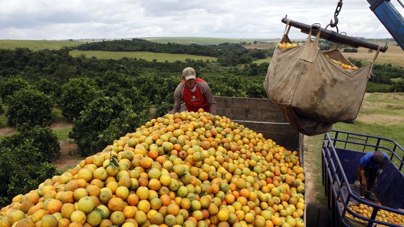 Arbeiter auf einer Orangen-Plantage in Brasilien