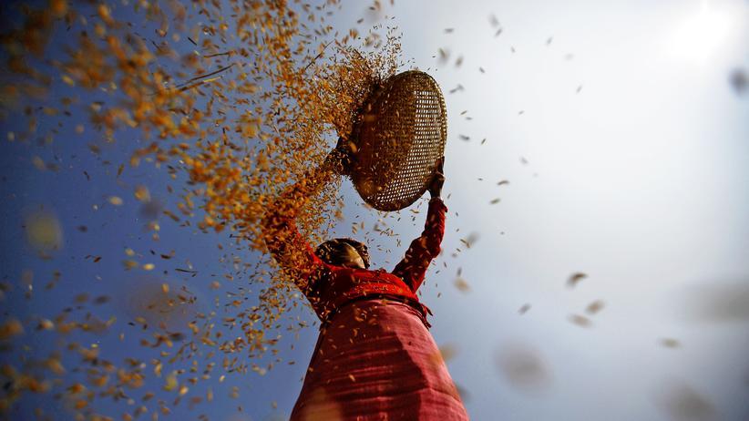 Reis: Reisernte in Lalitpur, Indien (Archiv)