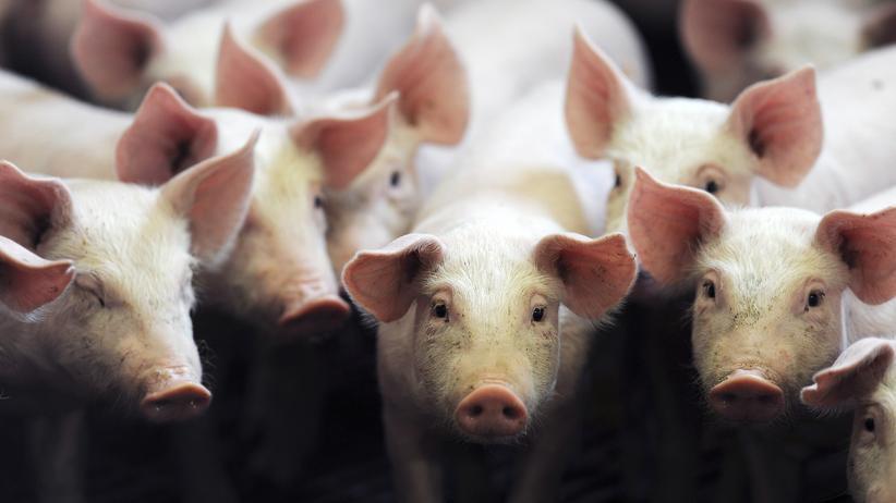 """Massentierhaltung: """"Der Einsatz von Antibiotika ist gesunken"""""""