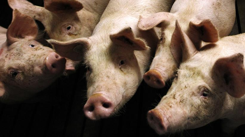 Fleischkonsum: Vegetarismus liegt im Trend, Schweinemast auch.