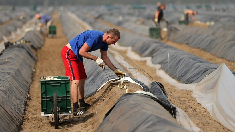 Tarifverhandlungen: Polnische Gastarbeiter ernten Spargel auf einem Feld nahe Klaistow.