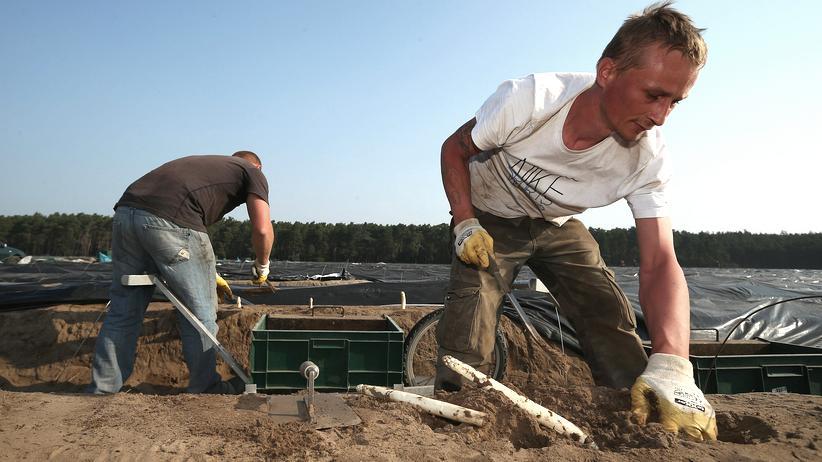 Mindestlohn: Spargelstecher bei ihrer Arbeit in der Nähe von Klaistow