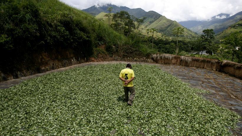 Peru: Ein peruanischer Bauer begutachtet trockende Koka-Blätter.