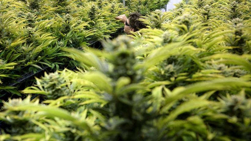Legalisierung von Cannabis: Anbau von Cannabis zur medizinischen Nutzung in Washington, D.C.