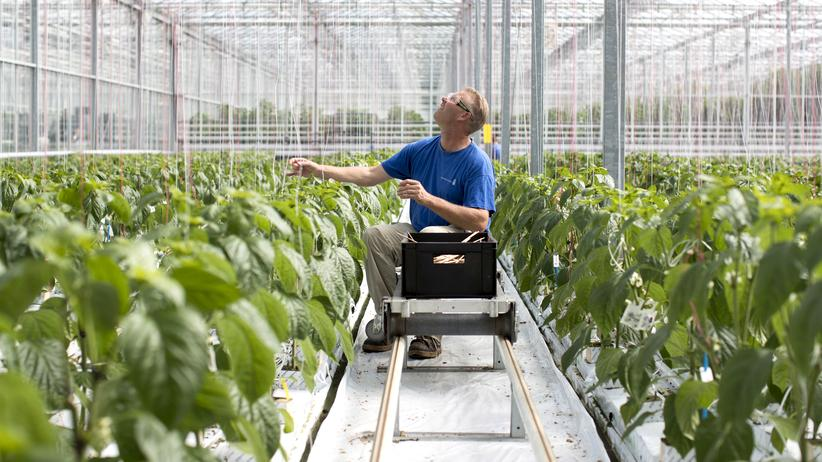 Agrar- und Lebensmittelindustrie : Arbeiter in einem niederländischen Treibhaus für Paprikapflanzen einer Tochtergesellschaft des Saatgutkonzerns Monsanto, der von Bayer übernommen wird.