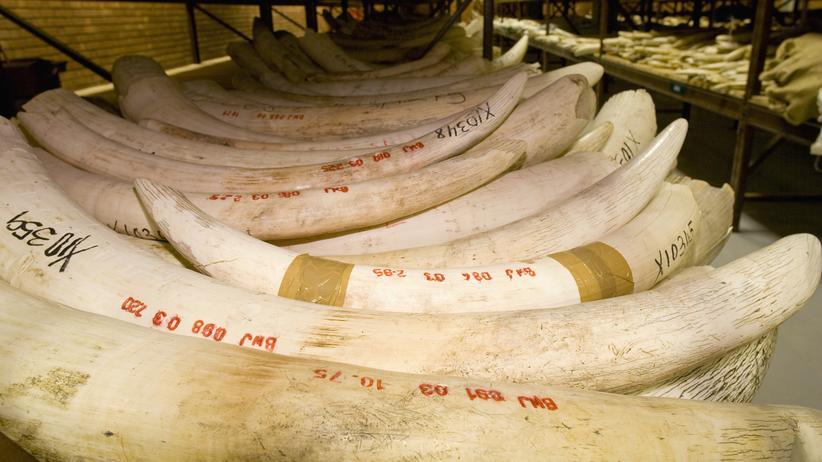 Elfenbein: Elfenbeindepot in einem Nationalpark in Botswana