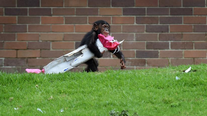 Geschenke: Schenken macht glücklich, beschenkt werden auch: Schimpanse Fumo im Zoo von Sydney hatte jedenfalls Spaß mit seinem Päckchen. (Archivbild)