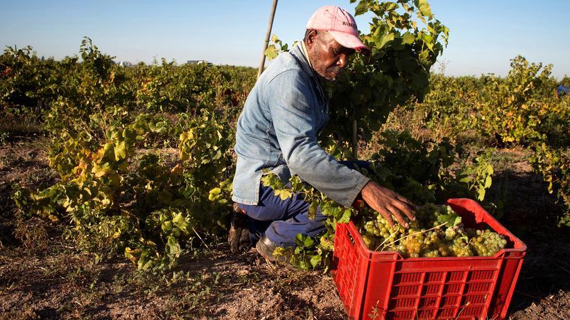 Discounter-Wein: Arbeiter auf einem südafrikanischen Weingut in Stellenbosch