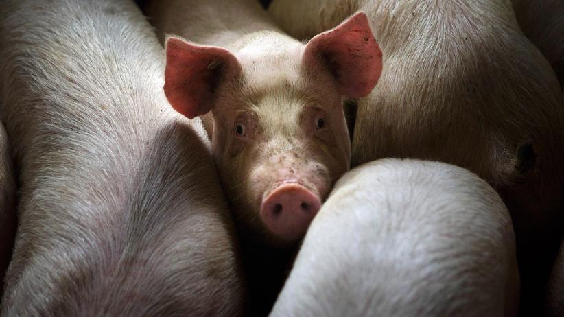 Bauern befürchten Milliardenschäden durch Afrikanischen Schweinepest