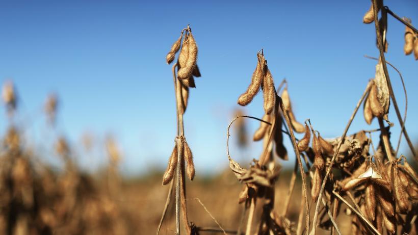 Sojaproduktion in Brasilien: Auf einem Sojafeld in Brasilien