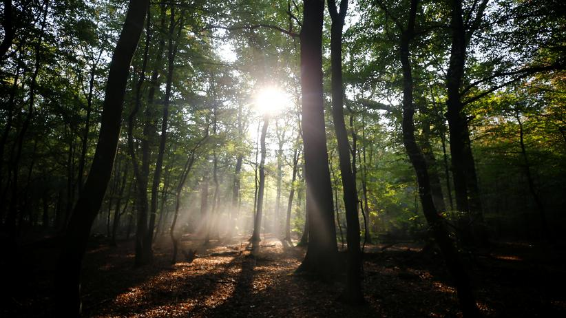Hambacher Forst: Geschützt durch die Bechsteinfledermaus: Der Hambacher Forst bei Köln, hier fand die letzte große Schlacht um den Kohleausstieg statt.
