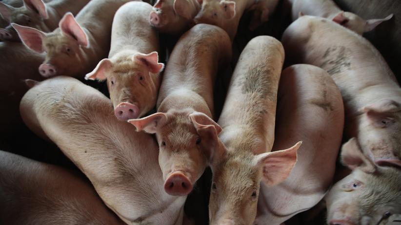 Ulm: Schweinezüchter muss wegen Tierquälerei ins Gefängnis