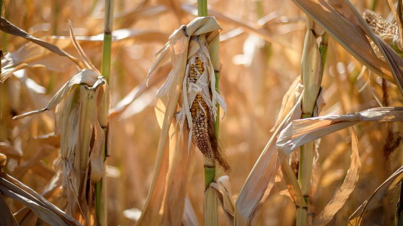 Landwirtschaft: Ein verdorrtes Maisfeld in der Nähe von Darmstadt