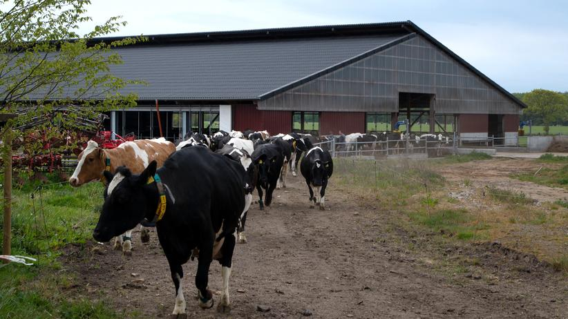 Bio-Lebensmittel: Es braucht einige Überzeugungskraft der Mitarbeiter, um die Kühe auf die Weide zu treiben.