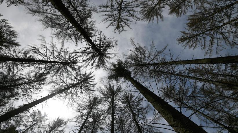 Aufforstung: Die lange Trockenheit hat Spuren an den Bäumen hinterlassen.
