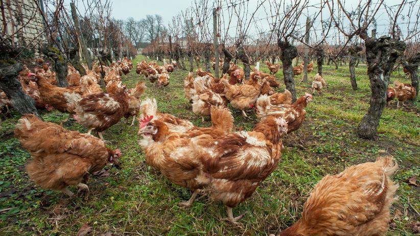 Lebensmittel: Hühner eines französischen Geflügelbetriebs
