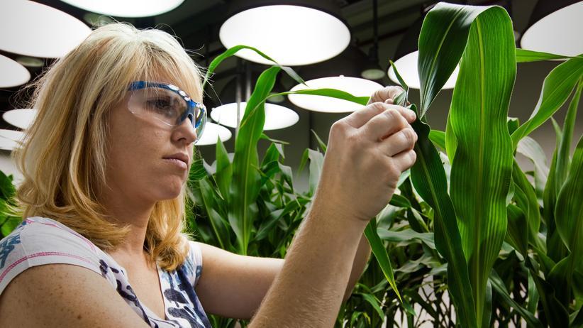 Monsanto-Übernahme: Eine Biologin untersucht gentechnisch veränderten Mais im Monsanto-Labor in St. Louis, Missouri.