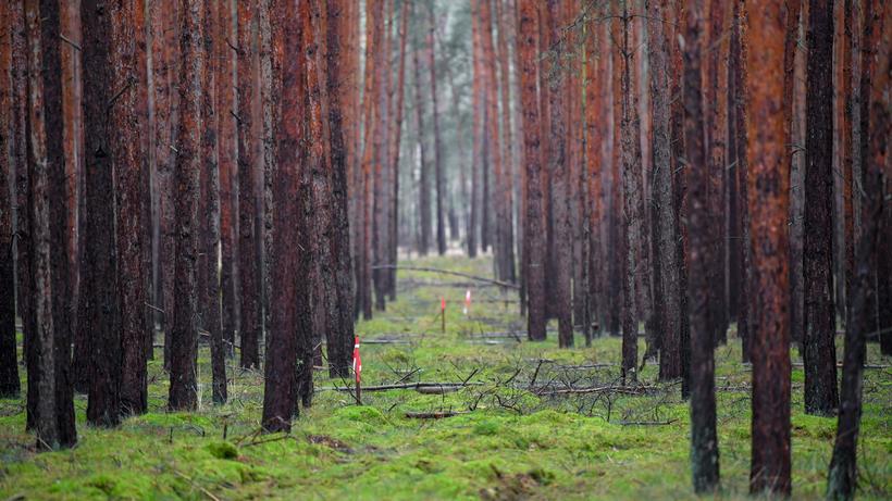 Brandenburg: Ein Kiefernwald auf dem künftigen Gelände der geplanten Tesla-Gigafactory im brandenburgischen Grünheide