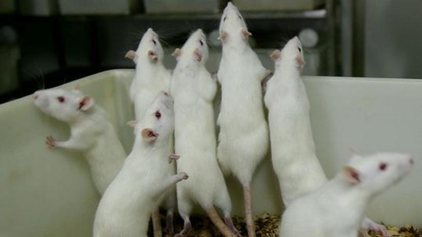 Labor Tierversuch Mäuse Ratten