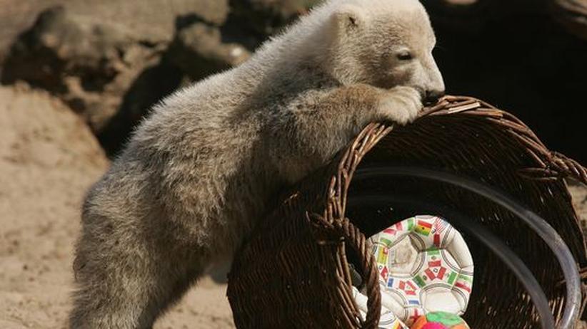 Knut Eisbär Zoo Flocke Tierhaltung Umwelt