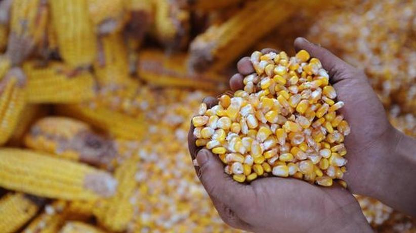 Genetik: Der Mais von morgen