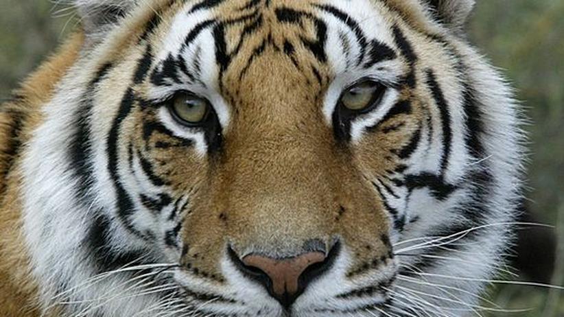 Tiger Tierhaltung Zirkus Tierschutz Wildnis Artenschutz Königstiger