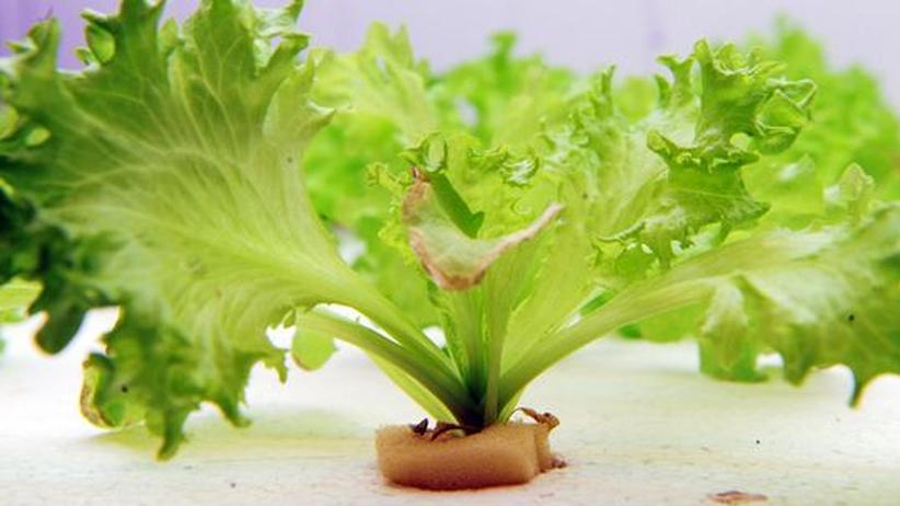 Ernährung: Hier wächst Gemüse im Labor. Immer mehr Anforderungen wird an unsere Nahrung gestellt. Gesund und schön soll es sein