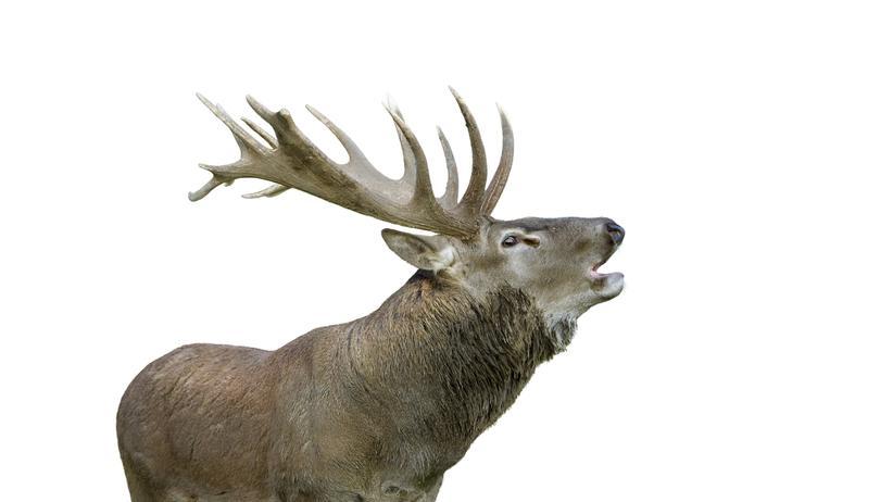 Rothirsch: Im Himmel der Hirsche