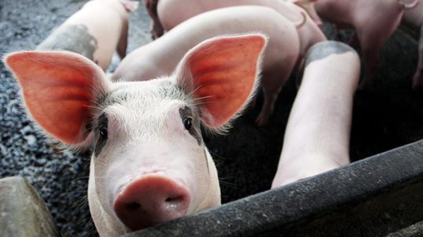 Tierversuch: 29 Schweine sollten für die Forschung im Schnee sterben