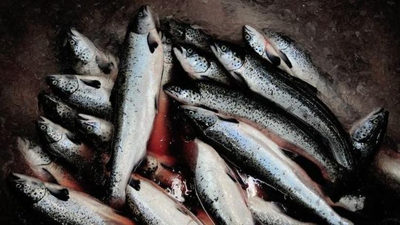 Überfischung: Lachse gehören zu den beliebtesten Fischsorten auf dem Speiseplan der Deutschen. Die konventionelle marine Aquakultur birgt aber Gefahren für die Wildbestände