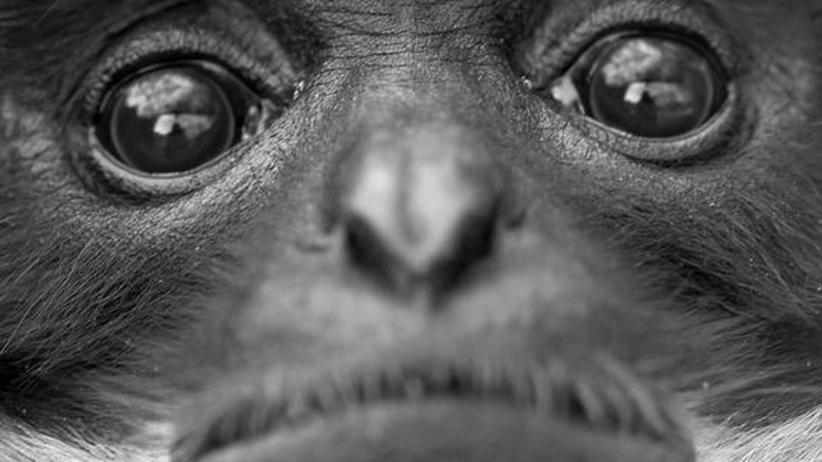 Affenversuche Tierversuche Tierschutz Makaken