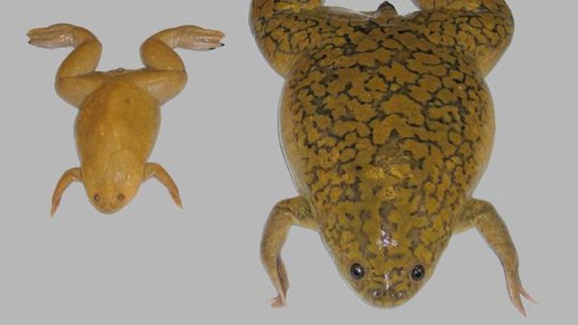 Amphibien Erbgut Dinosaurier Frosch Und Mensch Tragen Identische
