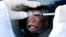 Ein Forscher injiziert einem Laboraffen eine Versuchslösung