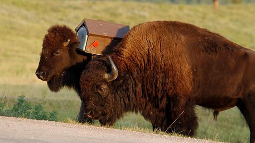 Ernährung: Bisons in Süd-Dakota, USA: Karl May schwärmte vom Geschmack der Lenden.