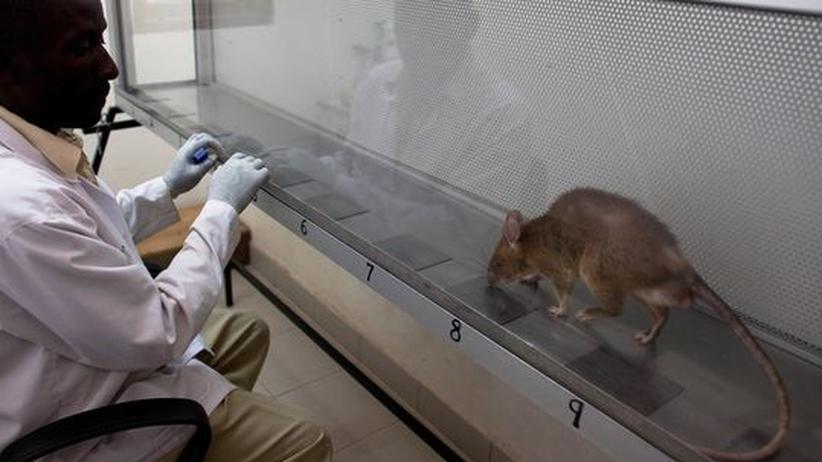 Das unterschätzte Tier: Wir Rattenmenschen