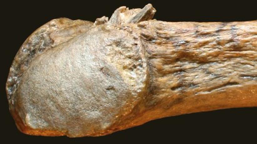 Mastodon Rippe Speerspitze Fossil Nordamerika