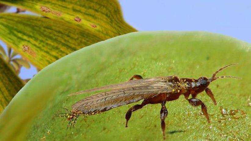 Funde im Bernstein: Schon in der Kreidezeit bestäubten Insekten Pflanzen
