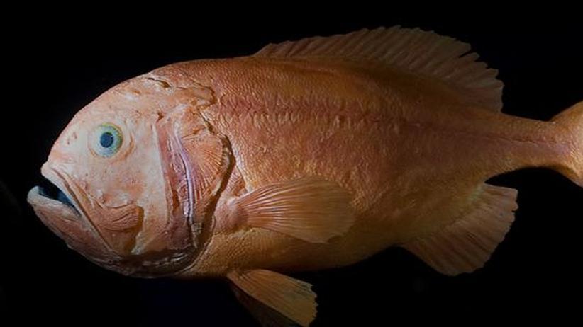 Das unterschätzte Tier: Gejagter Schleimkopf aus der Tiefsee